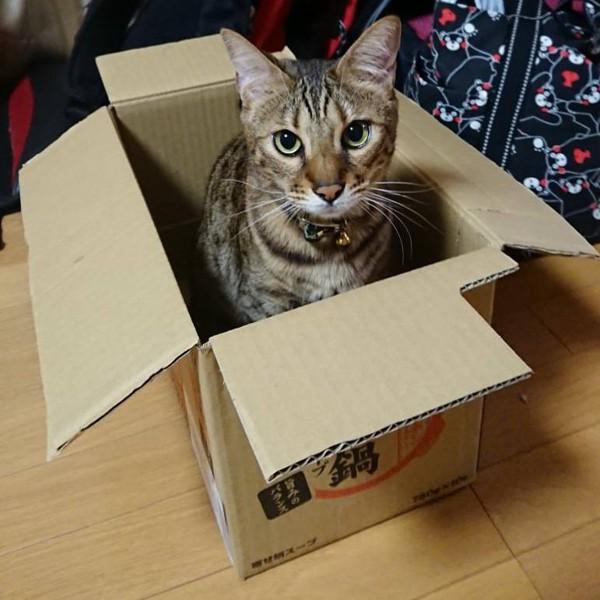 猫 ベンガル カイの写真