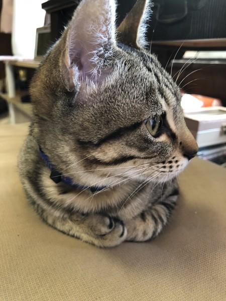 猫 キジトラ はくじの写真