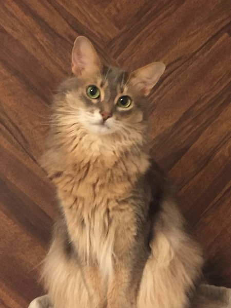 猫 ソマリ みつ葉の写真
