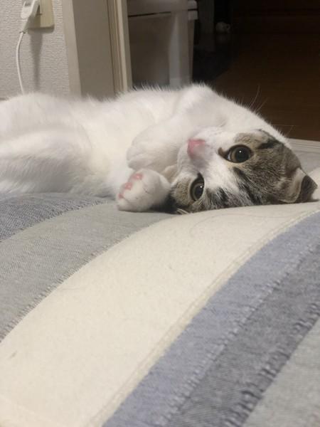 猫 スコティッシュフォールド ゆうきの写真