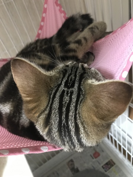 猫 アメリカンショートヘア しらすの写真