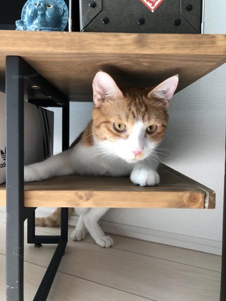 猫 茶白トラ ジロウの写真