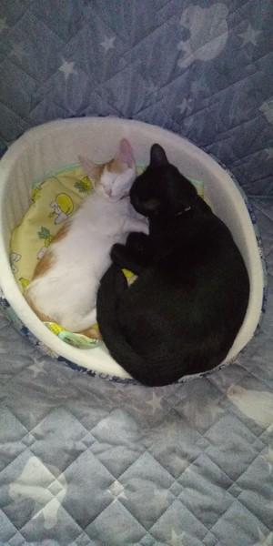 猫 雑種(ミックス) チョコとタマの写真