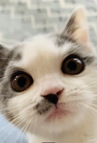 猫 ブリティッシュショートヘア キューちゃんの写真