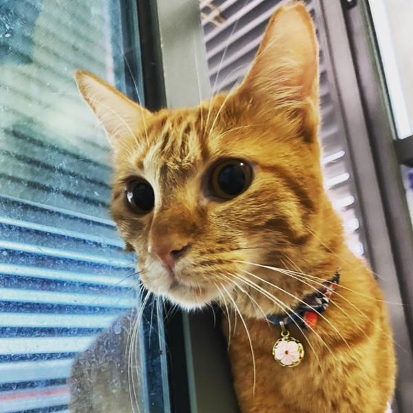 猫 茶トラ とうふの写真