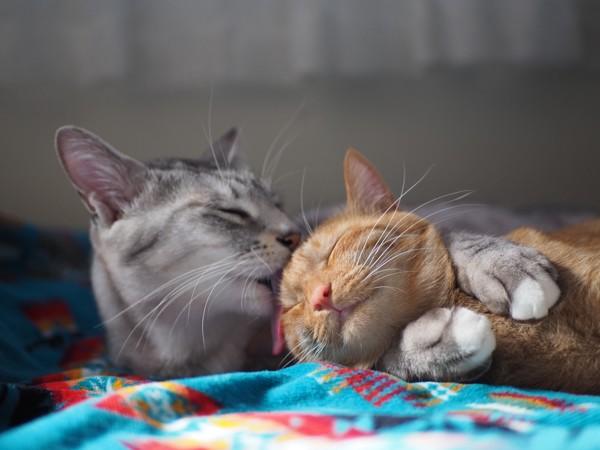 猫 サバトラ 景(カゲ)と姫(ひめ)の写真