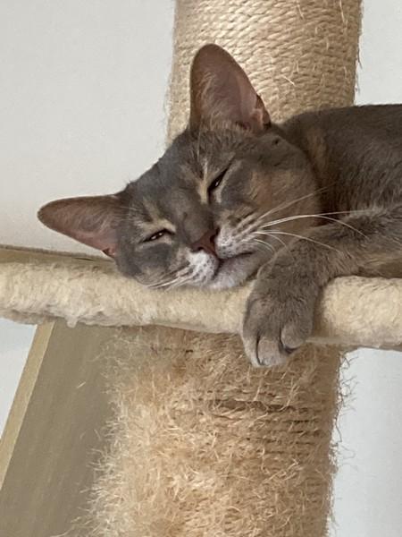 猫 アビシニアン アビ男の写真
