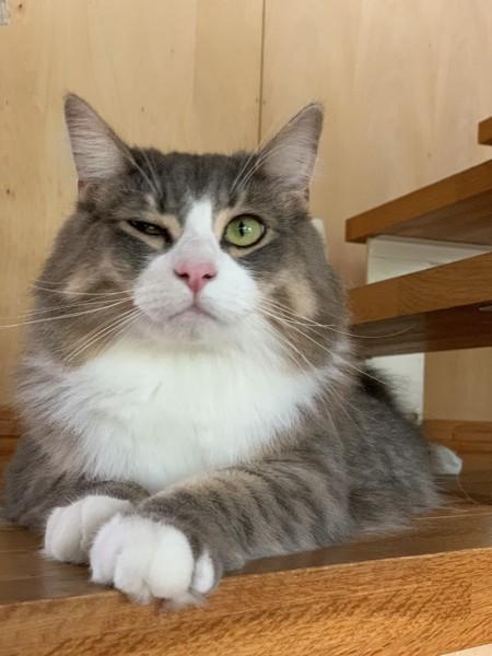 猫 ノルウェージャンフォレストキャット ちゃろの写真