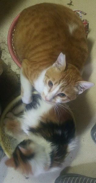猫 スコティッシュフォールド リキの写真