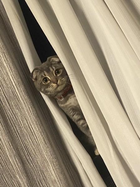 猫 スコティッシュフォールド ツクシの写真