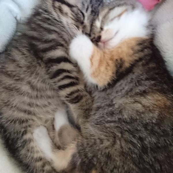 猫 キジトラ きぃ君の写真