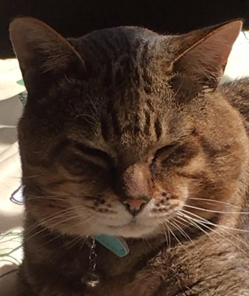 猫 キジトラ ボンの写真