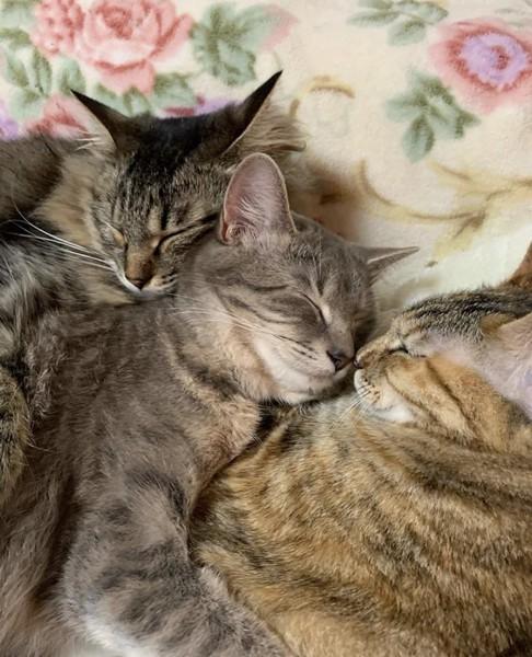 猫 キジトラ チャコの写真