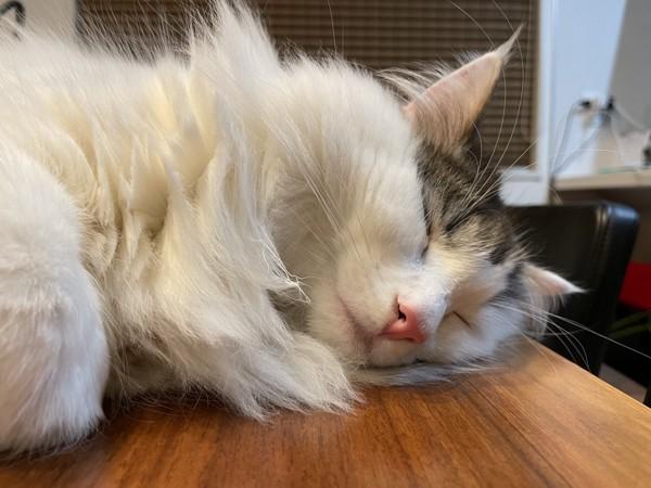 猫 ノルウェージャンフォレストキャット しじみの写真