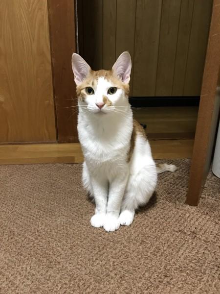 猫 雑種(ミックス) ミミの写真