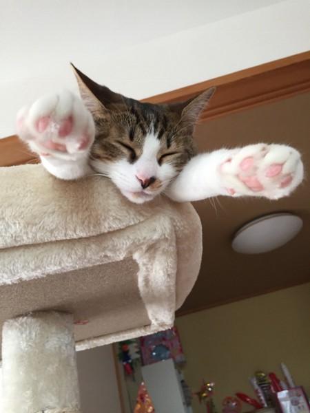 肉球 飛び出して寝る猫