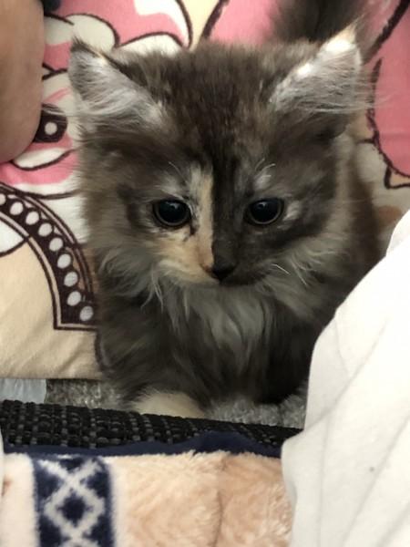 猫 マンチカン キーたんの写真
