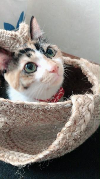 猫 三毛猫 メルの写真