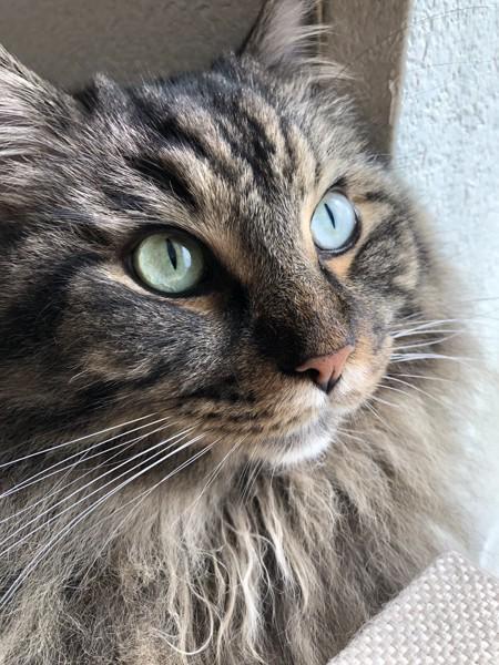 猫 メインクーン 虎太朗の写真