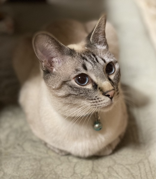 猫 雑種(ミックス) 小虎の写真