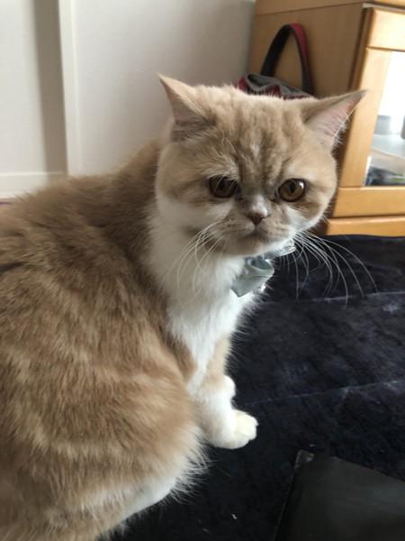 猫 エキゾチックショートヘア あずきの写真