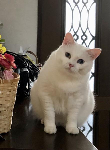 猫 白猫 令ちゃんの写真