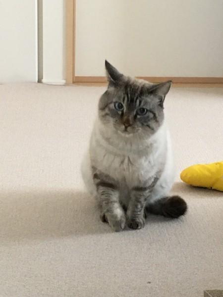 猫 シャムトラ ちゃむの写真