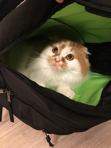 猫 スコティッシュフォールド ジミーの写真
