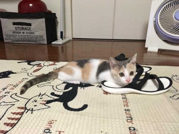 スリッパに乗る猫