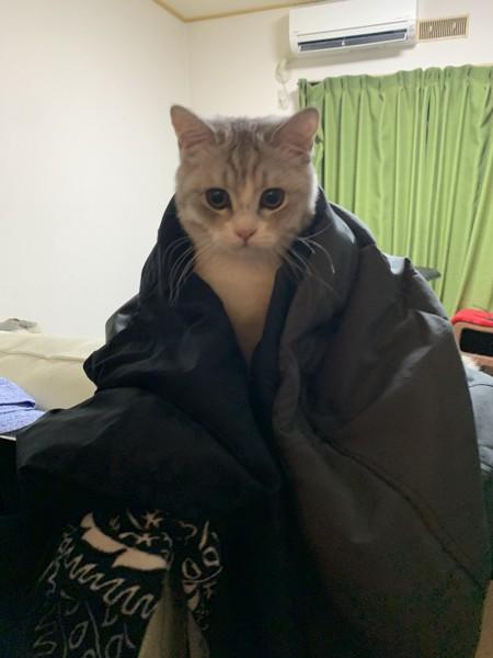 猫 アメリカンカール えのきの写真