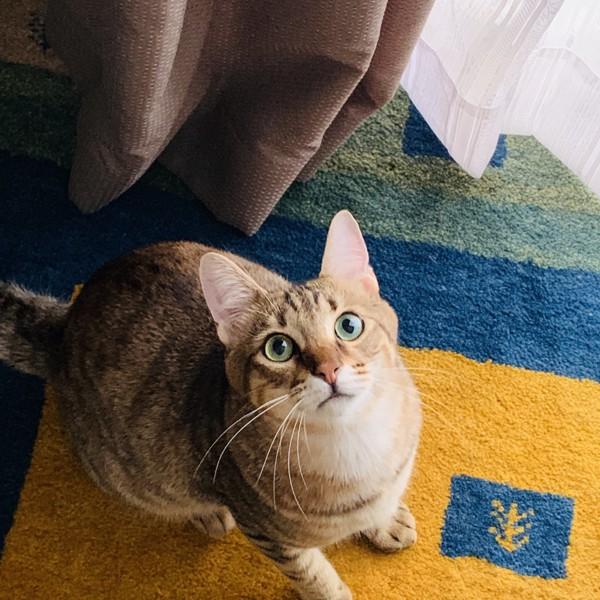 猫 キジトラ ゾゾの写真