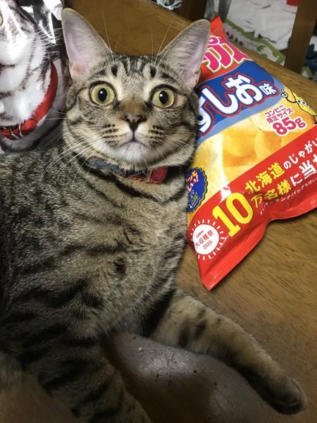 猫 キジトラ 桃太郎の写真