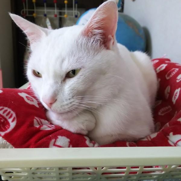 猫 雑種(ミックス) たまきちの写真
