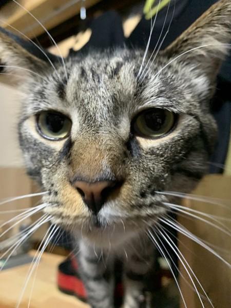 猫 メインクーンとスコティッシュホールドのミックス トム君の写真