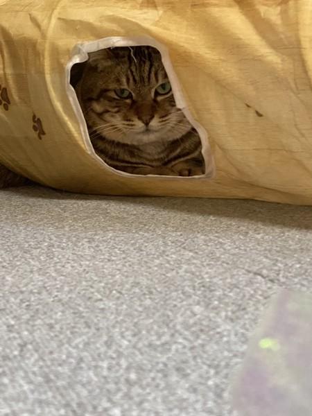 猫 キジトラ レンの写真