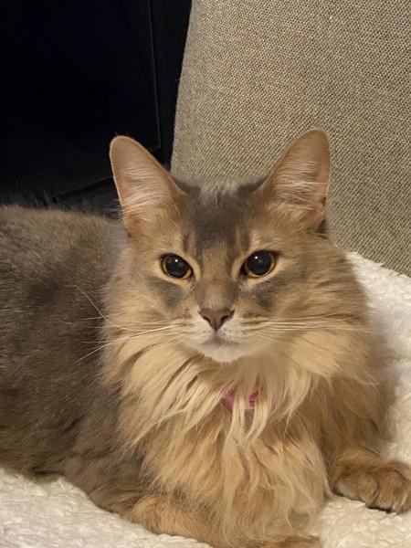 猫 ソマリ モナの写真