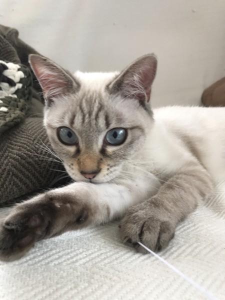 猫 シャム ドラミの写真