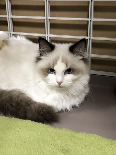 猫 ラグドール トワの写真