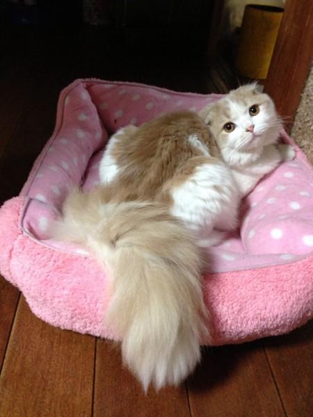 猫 スコティッシュフォールド ミルティの写真