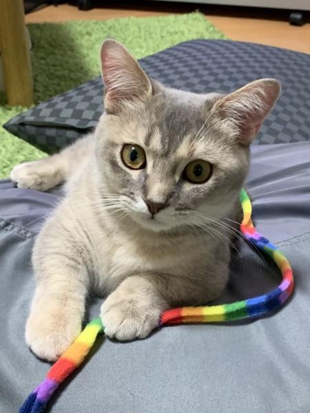 猫 マンチカン むぎの写真