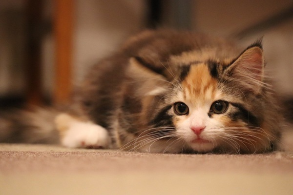 猫 ノルウェージャンフォレストキャット ヴィヴィの写真