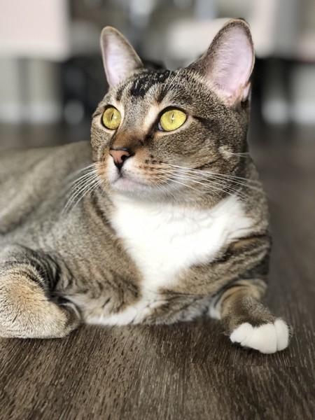 猫 キジトラ 小梅の写真