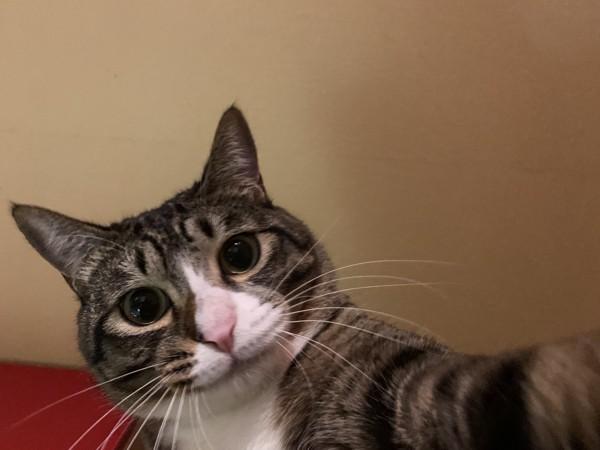 猫 キジシロ ふうの写真