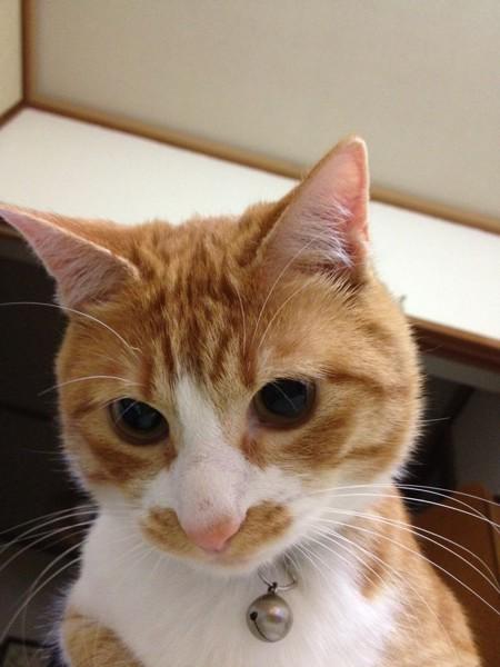 猫 茶トラ らおの写真