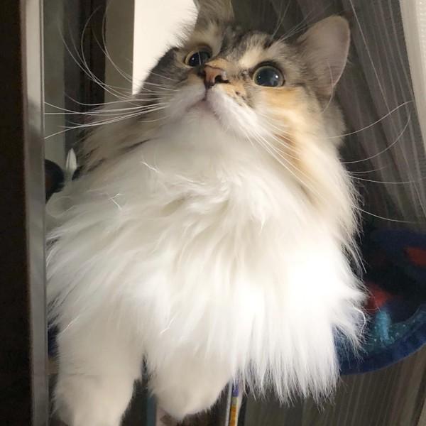 猫 ノルウェージャンフォレストキャット ココアの写真