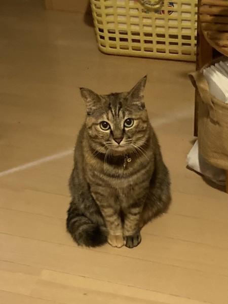 猫 雑種(ミックス) モモの写真