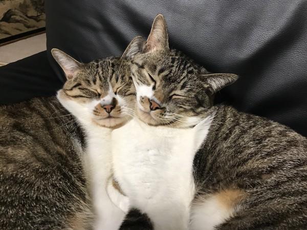 猫 キジシロ カイ ナナの写真