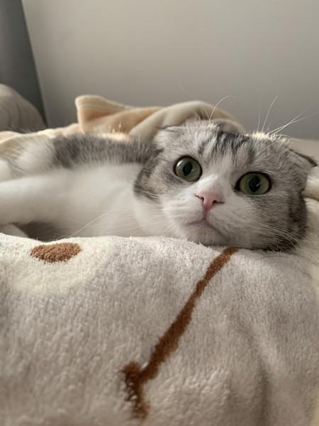 猫 スコティッシュフォールド レイちゃんの写真