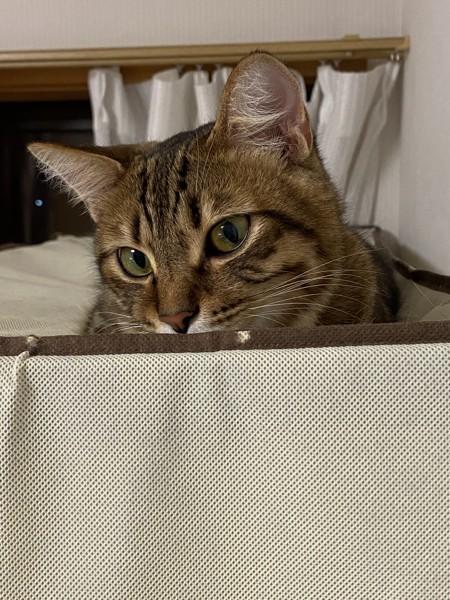 猫 キジトラ エメの写真