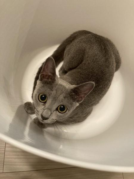 猫 ロシアンブルー むぎの写真